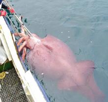 El calamar gigante.... Nada común